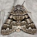 Pale Panthea - Hodges#9183 - Panthea furcilla