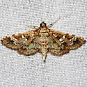 Salvinia Stem-borer Moth - Samea multiplicalis