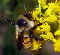 Tricolored Bumble Bee - Bombus ternarius - female