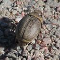 Beetle id request 1 - Phyllophaga lanceolata