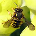 Wool Carder Bee - Anthidium manicatum - female