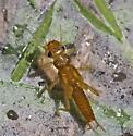 Perlodid stonefly, genus Remenus - Remenus