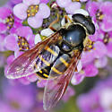 Fly - Sericomyia chalcopyga - female