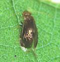 Amphipsocidae, Hairy-winged Barklice - Polypsocus corruptus