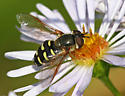 Possible Eupeodes perplexus - female