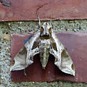 MOTH, found at daytime on the north wall of the house in New Jersey 7/14/09 10 am, sitting there for 1,2 hours, then was gone - Eumorpha pandorus
