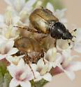 Chnaunanthus flavipennis