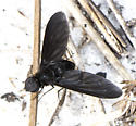Fly ID request - Anthrax georgicus