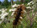 Caterpillar Help - Estigmene acrea