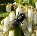 Mason Bee - Osmia lignaria - female