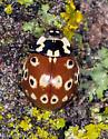 Eye-spotted Lady Beetle (Anatis mali)  - Anatis mali