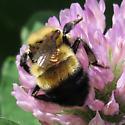 bumble bee 1 400 - Bombus rufocinctus