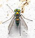 Condylostylus? - Condylostylus - female