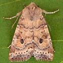 Puta Sallow Moth - Anathix puta