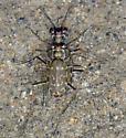 S-Banded Tiger Beetle - Cicindela trifasciata - male - female