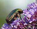 Green June Beetle (Cotinis nitida)? - Cotinis nitida