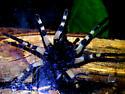 Hogna carolinensis Ventral  - Hogna carolinensis - female