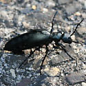 Oil Beetle - Meloe campanicollis - female