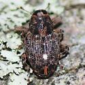 Weevil 1 - Lechriops oculata