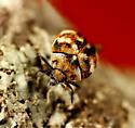 Coleoptera - Anthrenus verbasci