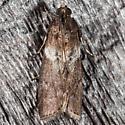 Salebriaria rufimaculatella  - Salebriaria rufimaculatella