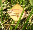 Mating - Haematopis grataria - male - female