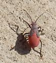 red bug - Jadera haematoloma