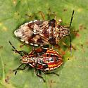 Shield Bug adult and nymph - Elasmucha lateralis