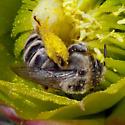 Bee in cholla #1 - Diadasia
