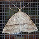 Thallophaga taylorata  - Thallophaga taylorata