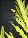 Arigomphus villosipes, Unicorn Clubtail - Arigomphus villosipes - male