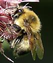 Bumblebee for ID please - Bombus