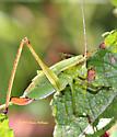 Green Grasshopper - Scudderia fasciata - female