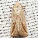Oblique Grass Moth - Hodges #9819 - Amolita obliqua - male