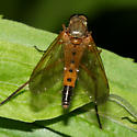 Snipe Fly - Rhagio tringarius - male