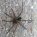 Grass Spider? - Tigrosa helluo - male