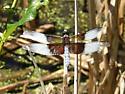Widow Skimmer Libellula luctuosa - Libellula luctuosa - male