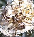 Spider ID - Larinioides patagiatus - male