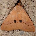 Moth - Panopoda rigida