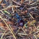 Dark red beetle - Scaphinotus angusticollis
