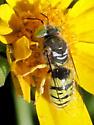 Wasp - Bembix