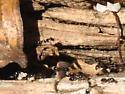 Very small ants - Monomorium trageri - female
