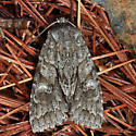 moth - Xylotype arcadia