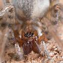 Spider - Tegenaria domestica - female