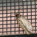 Agonopterix eupatoriiella - Agonopterix