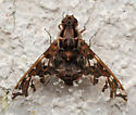 Beefly - Xenox habrosus