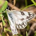 confusing Pontia - Pontia occidentalis - female
