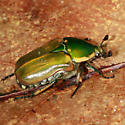 Green June Bug? - Euphoria fulgida