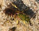 green bee - Agapostemon splendens