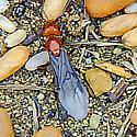 Ants & Eggs - Formica - male - female